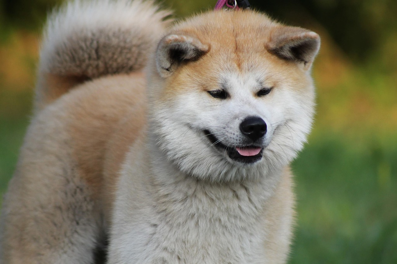 Psy rasy Akita