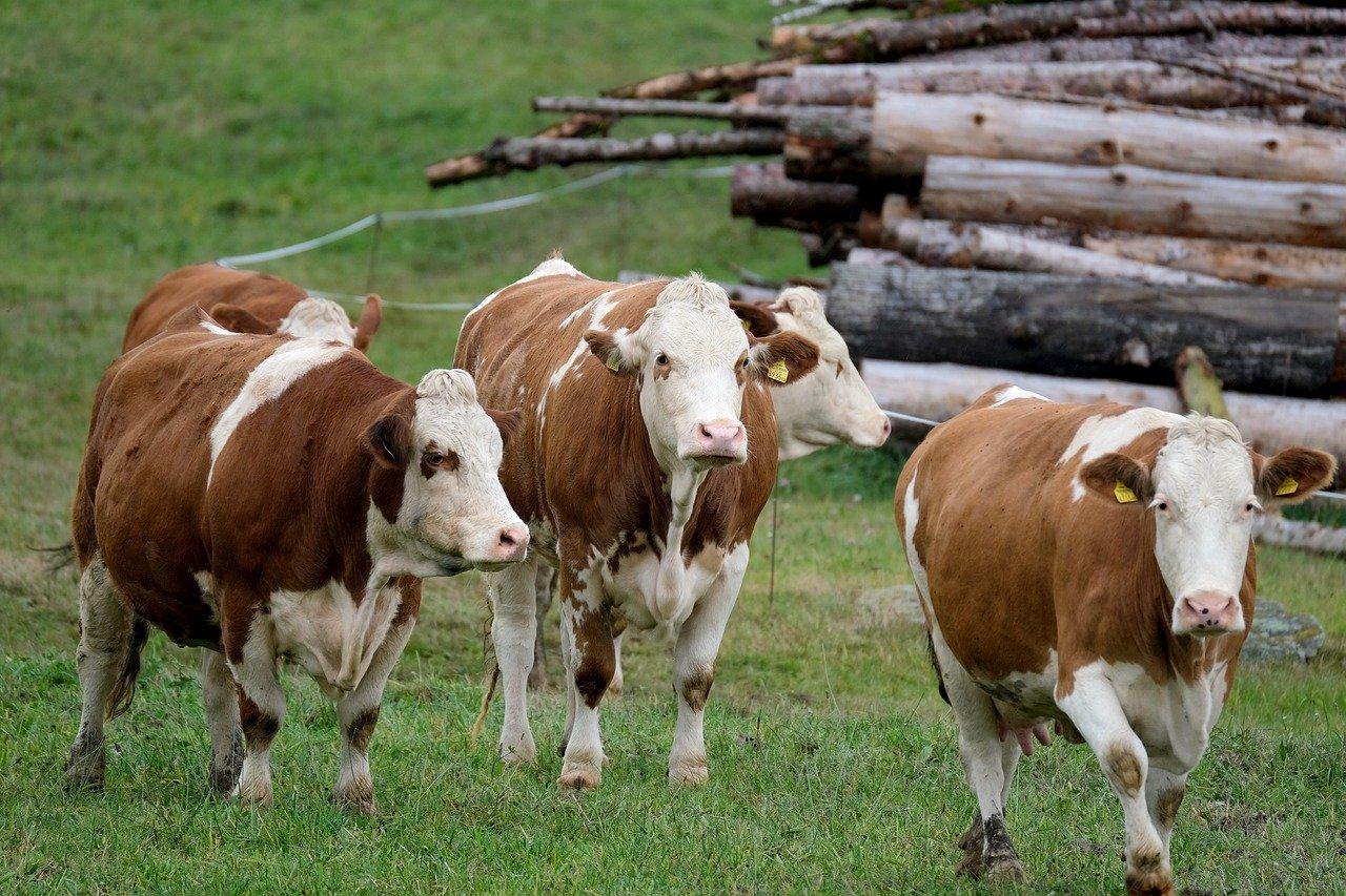 Czy warto stosować młóto w żywieniu zwierząt hodowlanych?